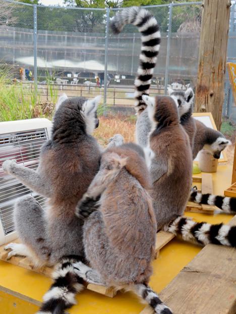 モンキーセンター「WAOランド」:ヒーターに集まって暖まるワオキツネザル - 7