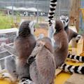 Photos: モンキーセンター「WAOランド」:ヒーターに集まって暖まるワオキツネザル - 7