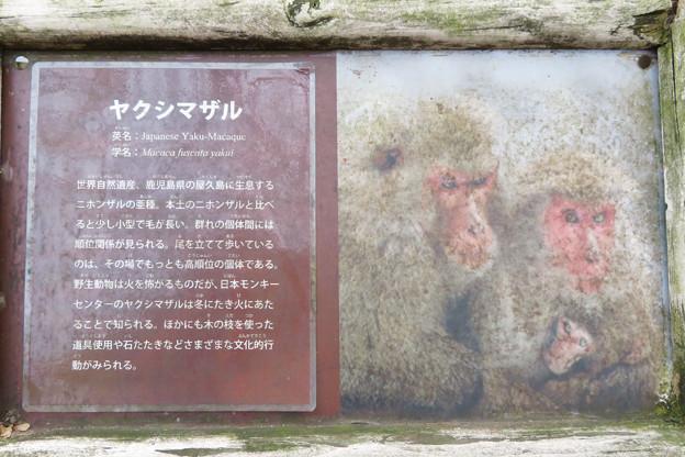 日本モンキーセンター:ヤクザルの説明