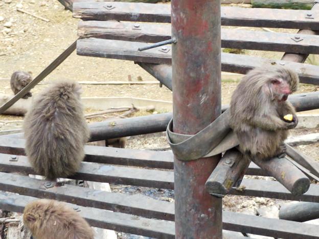日本モンキーセンター:焚き火にあたる猿 - 3(焼き芋を食べるヤクザル)