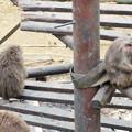 Photos: 日本モンキーセンター:焚き火にあたる猿 - 3(焼き芋を食べるヤクザル)