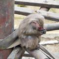 Photos: 日本モンキーセンター:焚き火にあたる猿 - 4(焼き芋を食べるヤクザル)
