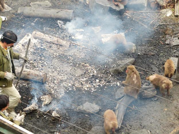 日本モンキーセンター:焚き火にあたる猿 - 6(消火作業中)