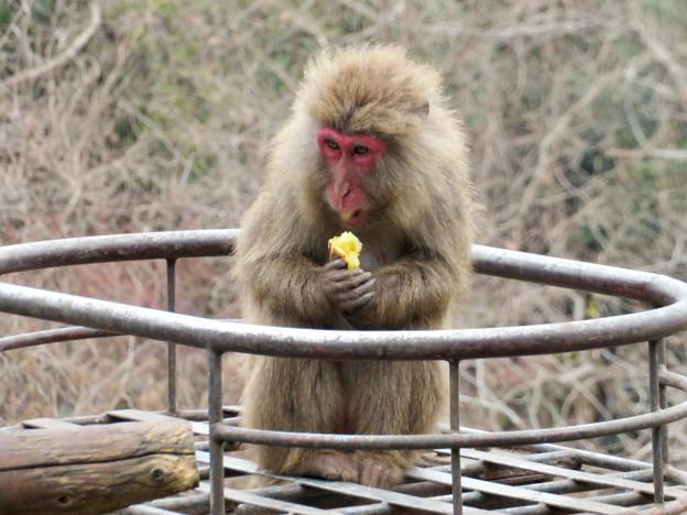 日本モンキーセンター:焚き火にあたる猿 - 10(焼き芋を食べるヤクザル)