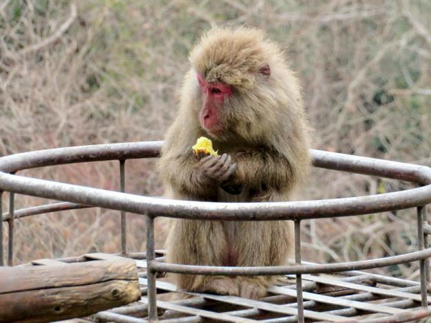 日本モンキーセンター:焚き火にあたる猿 - 11(焼き芋を食べるヤクザル)