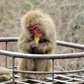 Photos: 日本モンキーセンター:焚き火にあたる猿 - 12(焼き芋を食べるヤクザル)