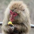 日本モンキーセンター:焚き火にあたる猿 - 13(焼き芋を食べるヤクザル)