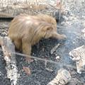 日本モンキーセンター:焚き火にあたる猿 - 18(灰の下にある焼き芋を探してる?)