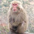 日本モンキーセンター:焚き火にあたる猿 - 5