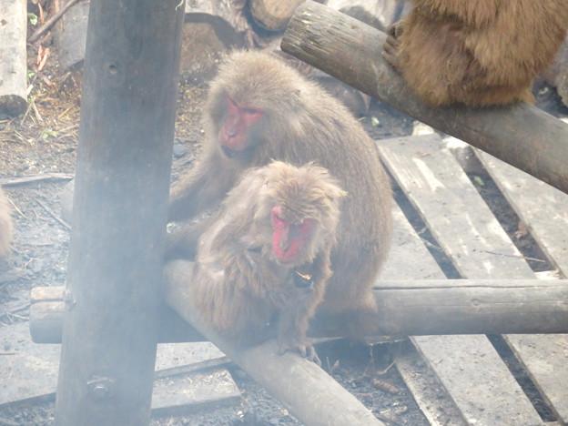 日本モンキーセンター:焚き火にあたる猿 - 7
