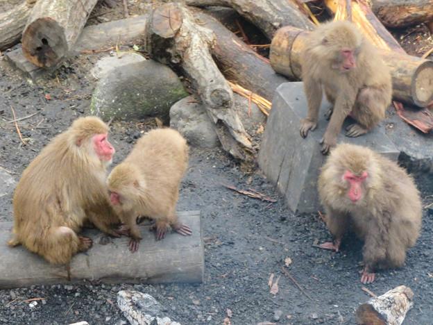 日本モンキーセンター:焚き火にあたる猿 - 20