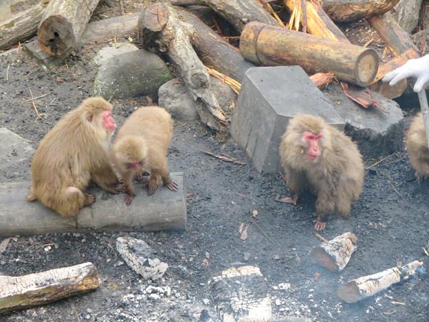 日本モンキーセンター:焚き火にあたる猿 - 19