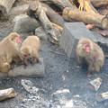 Photos: 日本モンキーセンター:焚き火にあたる猿 - 19