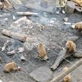 日本モンキーセンター:焚き火にあたる猿 - 15(消火作業中)