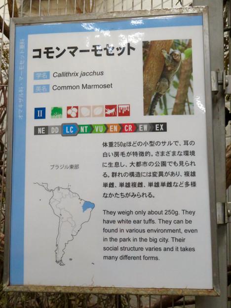 日本モンキーセンター:コモンマーモセット - 3(説明)