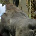 Photos: モンキーセンターのオスゴリラの背中