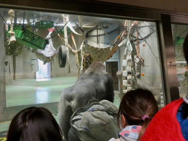 日本モンキーセンター:ゴリラの食事風景を見ている人たち - 3
