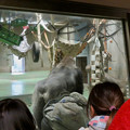 Photos: 日本モンキーセンター:ゴリラの食事風景を見ている人たち - 3