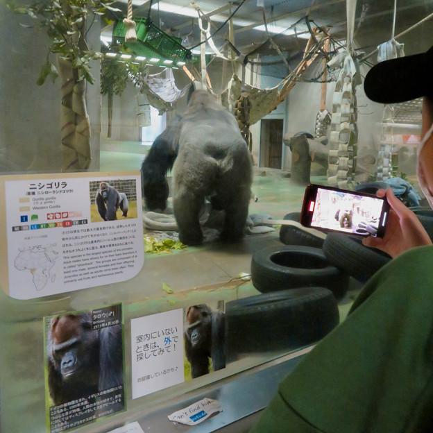 日本モンキーセンター:ゴリラの食事風景を見ている人たち - 4