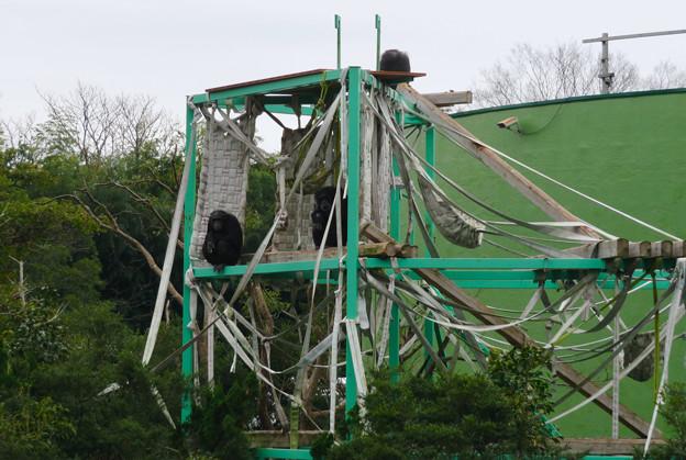 日本モンキーセンター:チンパンジー - 1