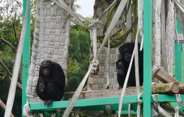 日本モンキーセンター:チンパンジー - 2