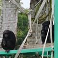Photos: 日本モンキーセンター:チンパンジー - 2