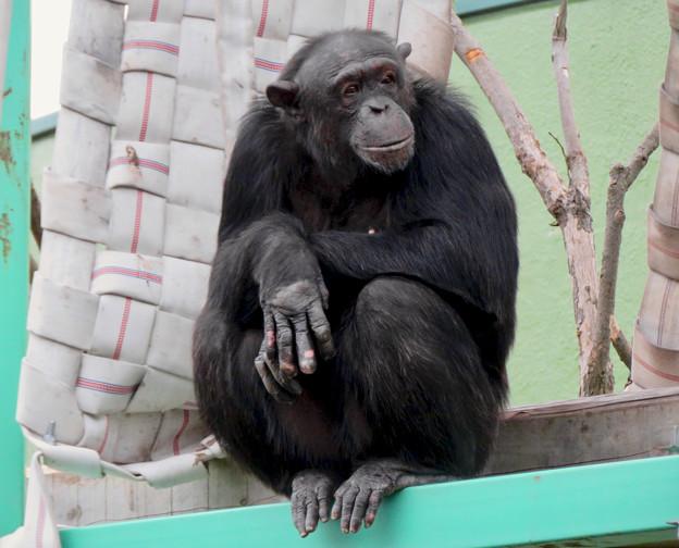 日本モンキーセンター:チンパンジー - 4