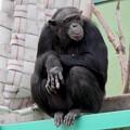 Photos: 日本モンキーセンター:チンパンジー - 4