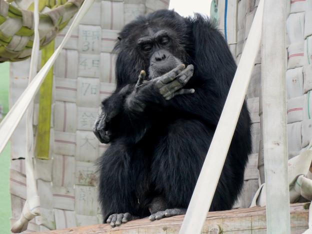 日本モンキーセンター:チンパンジー - 5