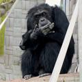 Photos: 日本モンキーセンター:チンパンジー - 5
