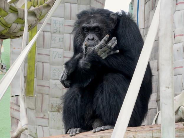 日本モンキーセンター:チンパンジー - 6
