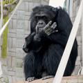 Photos: 日本モンキーセンター:チンパンジー - 6
