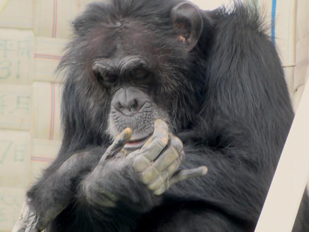 日本モンキーセンター:チンパンジー - 7