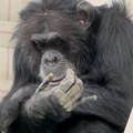 Photos: 日本モンキーセンター:チンパンジー - 7