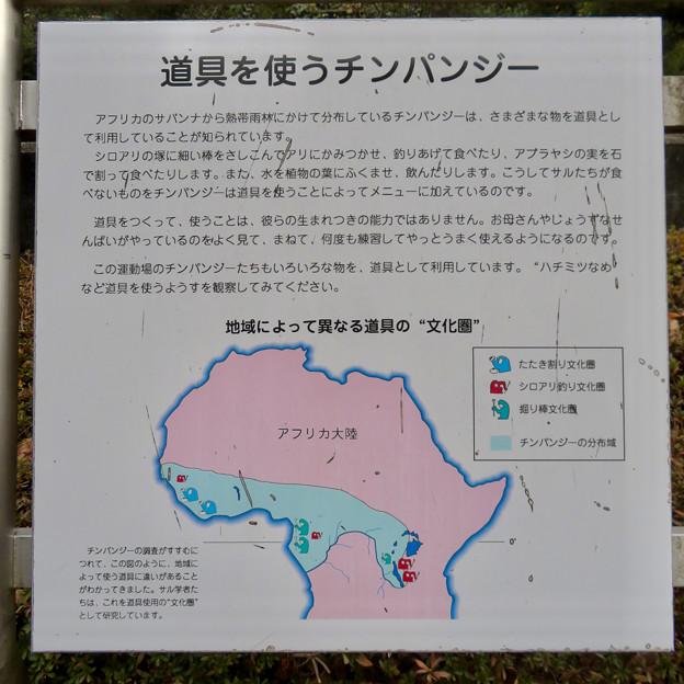 日本モンキーセンター:チンパンジー - 9(道具を使うチンパンジー)