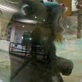 Photos: 日本モンキーセンター:マンドリル - 4(あくび中)