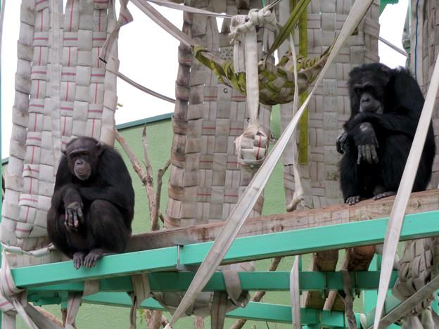 日本モンキーセンター:チンパンジー - 3