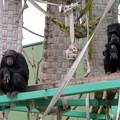 Photos: 日本モンキーセンター:チンパンジー - 3