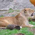 東山動植物園のライオン - 1