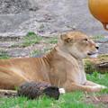 東山動植物園のライオン - 3