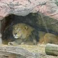 東山動植物園のライオン - 4
