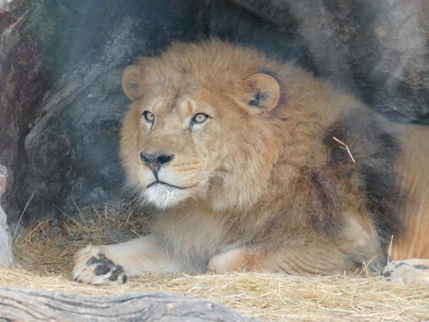 東山動植物園のライオン - 5