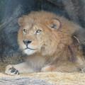 Photos: 東山動植物園のライオン - 5