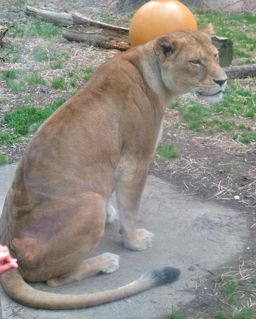 東山動植物園のライオン - 7