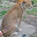 Photos: 東山動植物園のライオン - 7
