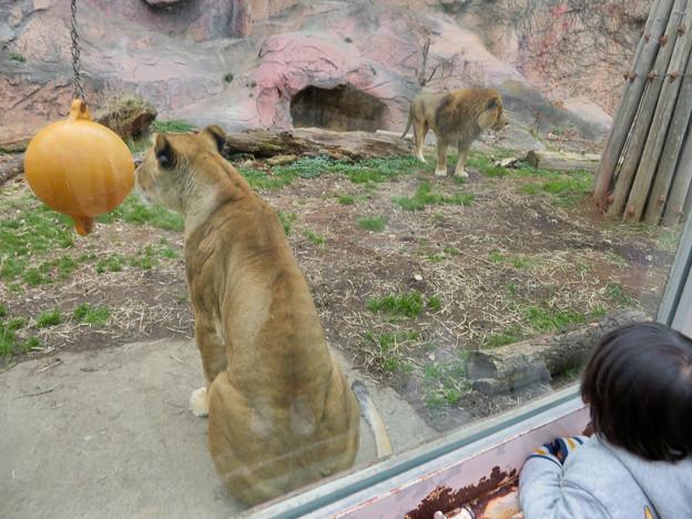 東山動植物園のライオン - 8