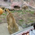Photos: 東山動植物園のライオン - 8