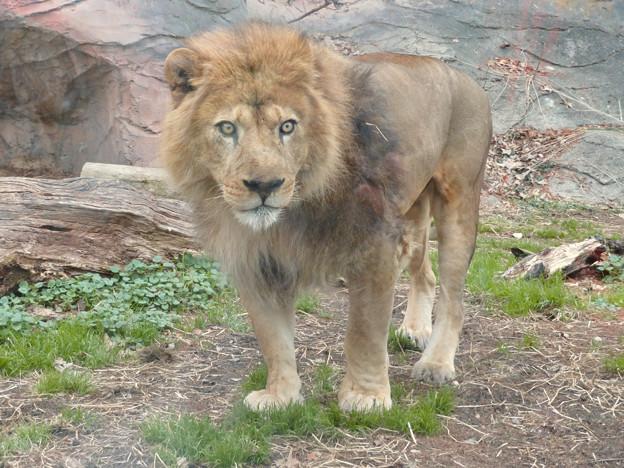 東山動植物園のライオン - 9