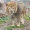Photos: 東山動植物園のライオン - 9