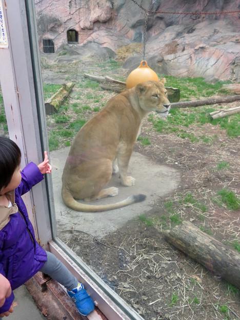 東山動植物園のライオン - 6